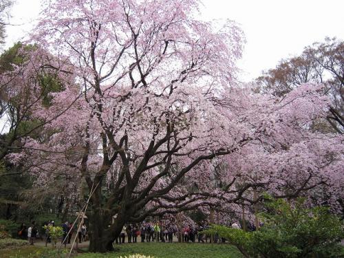 横に回って<br />やはり巨大な桜だ