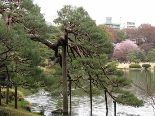池の反対側に来た<br />この松の樹齢は400年ぐらい<br />庭園が出来る前からあったみたい<br />池の向こうに枝垂れ桜が見える