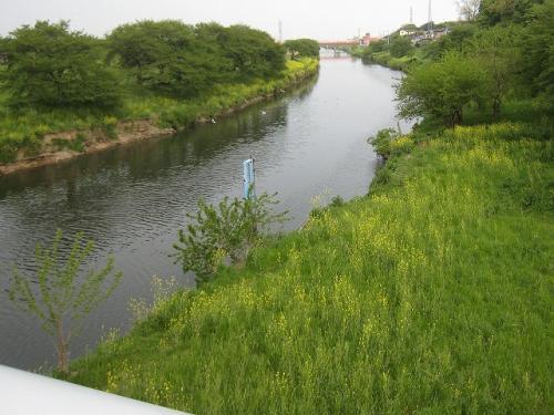 柳瀬川は自然が残っていてとても心和む<br />川原は菜の花に埋め尽くされている
