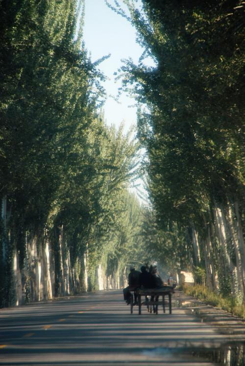 莎車でさえ郊外にしか見られなくなった、白楊樹林の街路樹を走り抜けます。