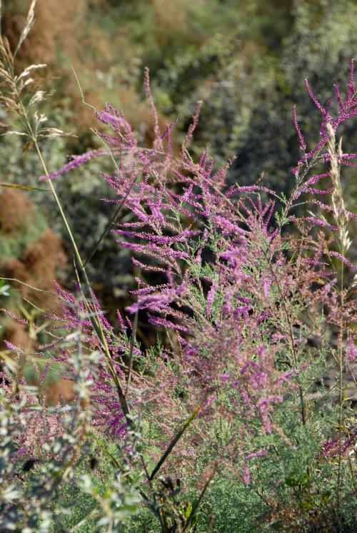 その時に撮った赤い草花「紅柳(タマリスク)」。<br /><br />戈壁灘縁に良く見かけます。
