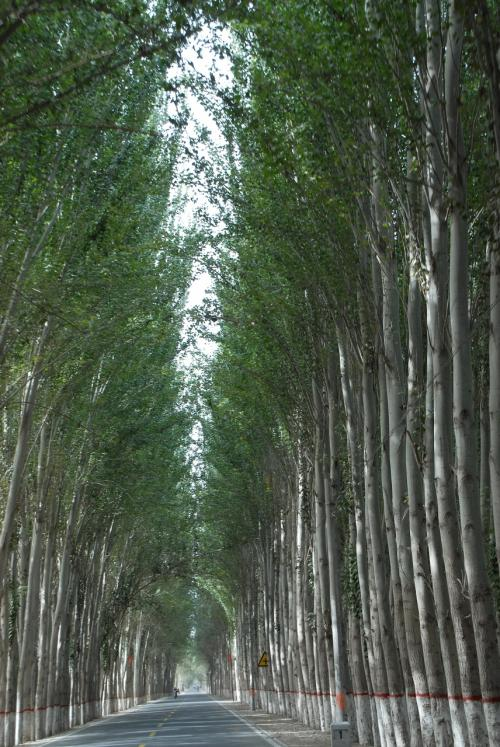和田の楊樹並木は規模が違いますね・・・