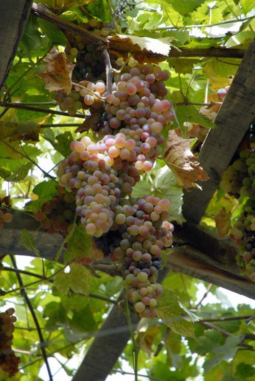 さっきのよりも、規模がかなり大きな棚です。<br /><br />色んな葡萄が撓わと実っています。