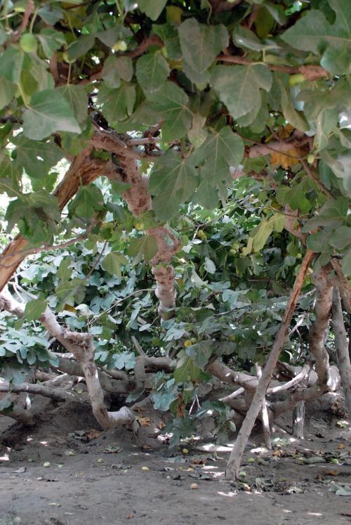 下から覗くと、無花果だけのジャングルのようです。