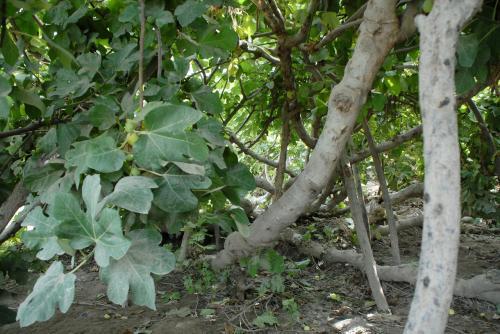木はワサワサでデカイですが、実は、普通の無花果と同じ大きさのようですね。
