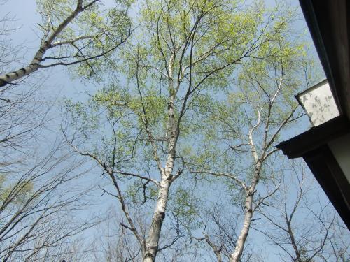 バルコニーから見上げた風景。白樺の芽吹き(写真)がすがすがしい。