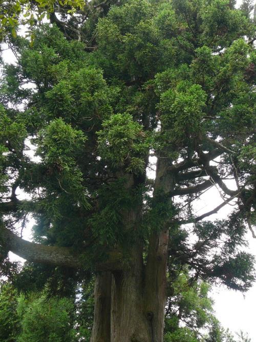 玉体杉です。<br />ここは西塔から横川まで尾根づたいに通る峰道のちょうど真中だそうです。