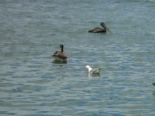 水鳥やラッコやイルカ?もすいすいと泳いでいました。