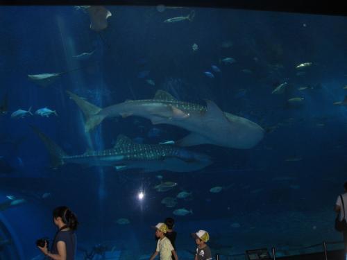 巨大な水槽の中にいるジンベエザメのあまりの大きさに圧倒されました。