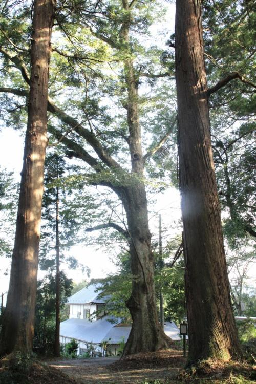 「荒橿神社のケヤキ」これがカメラファインダー一杯