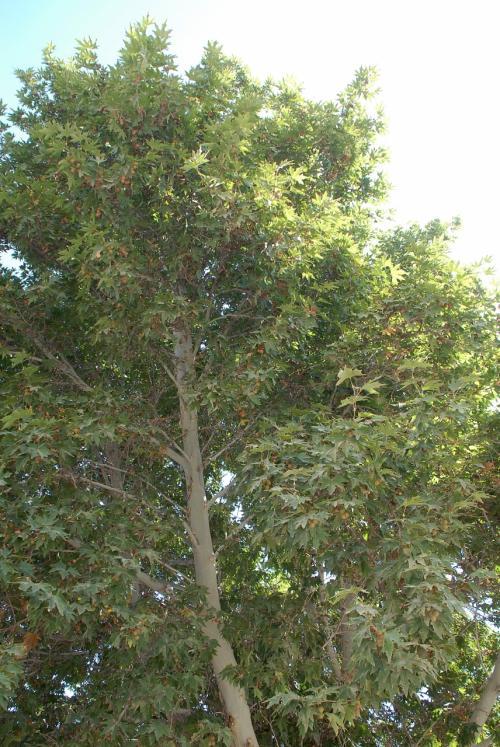 プラタナスの木ですが、丸いイボイボの実では無く、ほおずきのような実の成るタイプなのですね。