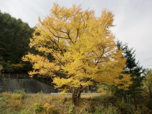白樺湖から女神湖へ行く途中、紅葉が素晴らしい大木(写真)に出会った。名前を知らないのが残念である。