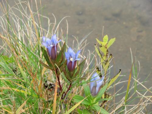 女神湖畔に咲く「リンドウ?、キキョウ?」(写真)。木や花に無知な自分を反省しつつ「覚える努力」を全くしない私である。