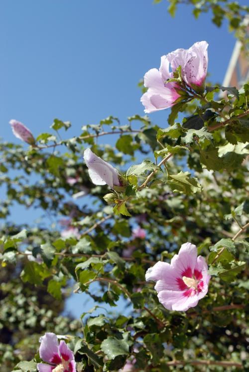 今日もまたまたまたまた良い天気〜♪<br /><br />和田行きの時期をズラせば良かったって感じです。<br /><br />必要でも芙蓉の花・・・(*灬☆)\バキッ!