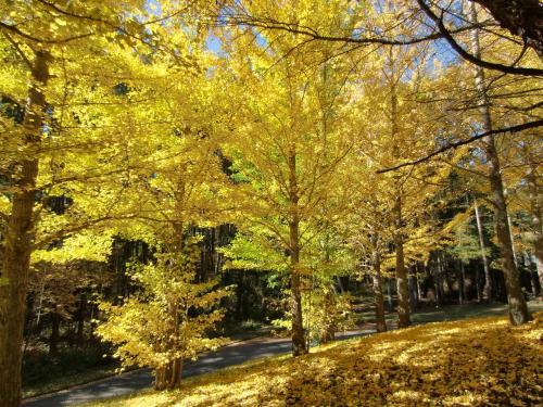 車は八ヶ岳西山麓を横断する「鉢巻道路」に入る。ここでの秋のビューポイントは富士見高原の銀杏(イチョウ)並木(写真)であろう。