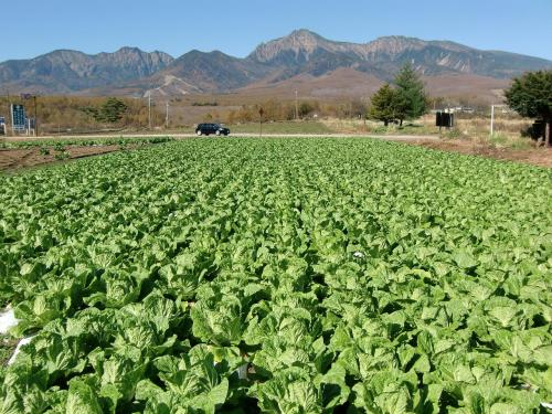 野辺山に近づくと高原野菜の畑(写真)が多く見られる。
