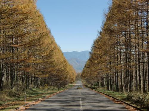 このカラマツの並木道(写真)が最高に素晴らしい。「八ヶ岳高原ロッジ」へのアプローチの道で私の好きなビューポイントである。