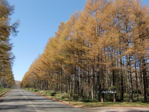 しかし、何と言うことか、カラマツの葉(写真)が散っている。黄葉の時期が早いのではなく、黄金色になる前に落ちていく。