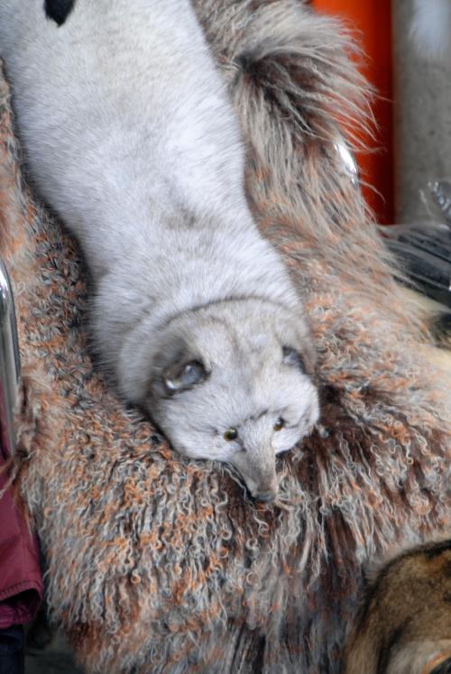 狐のマフラー♪<br /><br />北京郊外の土産屋で売られている物は、兎の毛で出来ている偽物ですが、これは本物でした。
