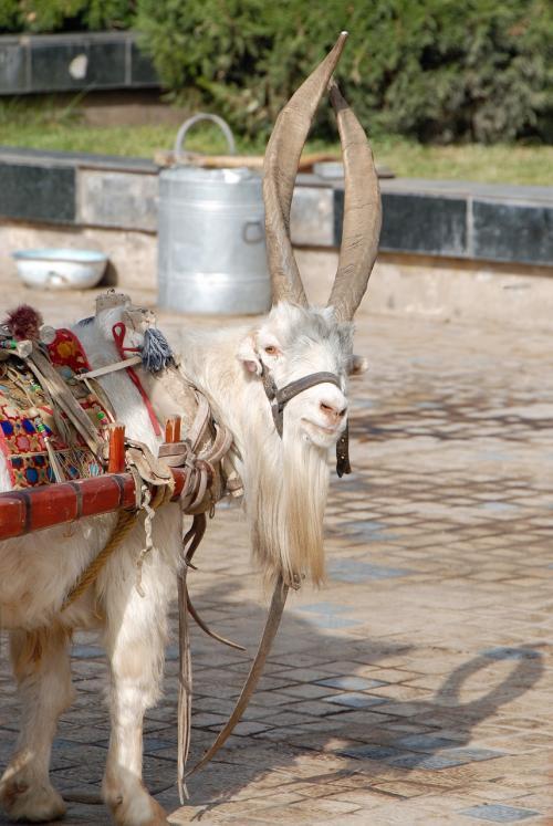 「あ、もう行くの・・・?」<br /><br />と言わんばかりに振り返る山羊さん。