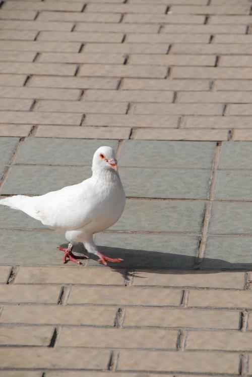 白い鳩も居ますね。<br />
