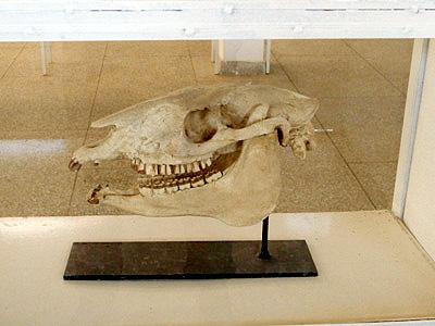 これはワニの化石だと言われました。ワニってなんか、昔は立って歩いていたそうなんですが。ほとんど恐竜と一緒ですね。