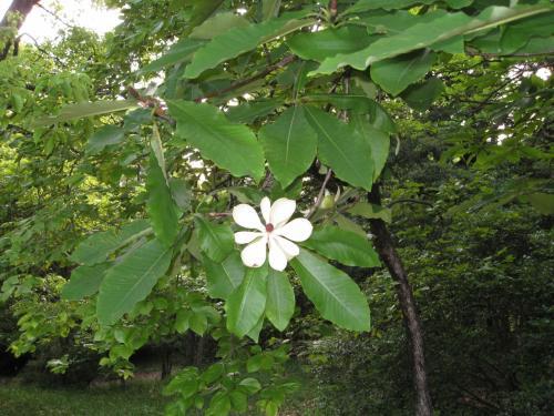 城跡は県民の森に整備され、中心部に森林センターがある。 そこが田中さんのお父さんのふるさとだそうだ。 シャクナゲが咲いていた。 山中には珍しく朴葉(ホオハ)の花が咲いていた。(写真)