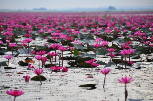 ノーンハーンの面積は、約23,000ライ(1ライは、1,600平方メートルです)もあり、その大部分が、自然に咲いた、蓮の花で被われています。