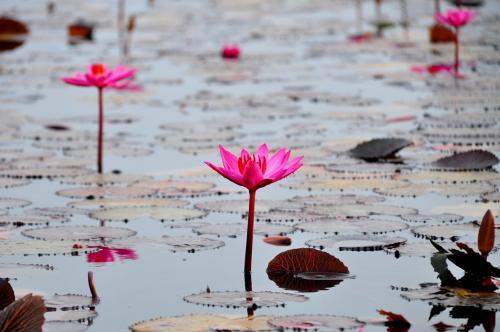 湖の中には、一部の蓮の花を取り除いて?ボートの遊覧コースが作られています。