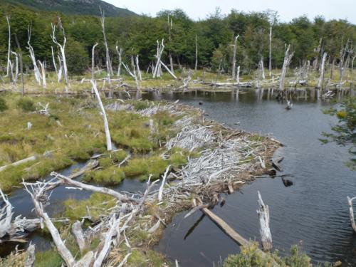 湿地帯にビーバーダムがありました。ビーバーの和名は海狸、泥や枯枝などを材料にして、川を横断する形に組み上げてこの様なダムを作り、そのダムを利用して、水面下に出入口のある巣を作って、天敵の侵入を巧妙に防いでいるとか。ビーバーは見えませんでしたが、なかなか賢い動物です