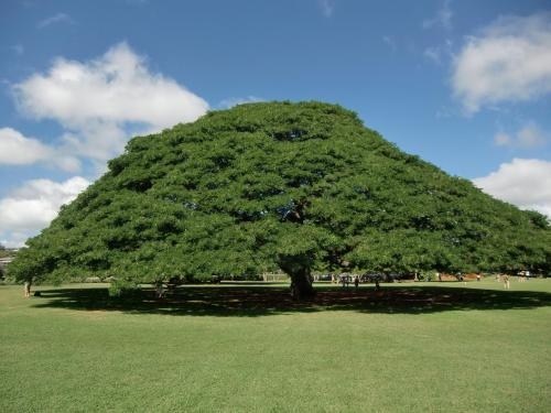 広い、広〜い、公園内、ゴミが1つも落ちていない。広大な緑の芝生にそびえる大きな1本の木(写真)。これは樹齢100年の「アメリカンネムの木」である。ハワイの生命力の凄さとアメリカの管理力に敬服する。