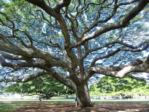 木の下に入ってみると空が透けて見える。不思議な木陰(写真)である。「モアナルアガーデン」で時間をつぶしたので残り時間が少ない。