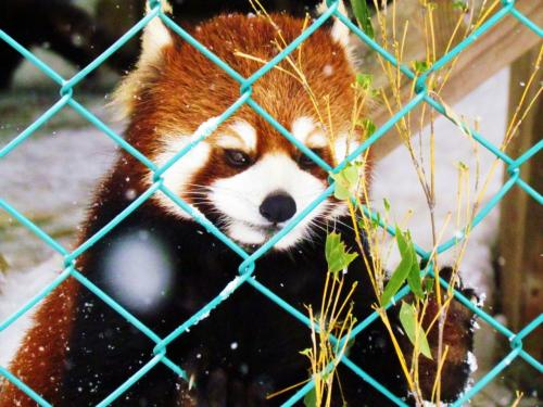 福島県 / Fukushima<br /><br />【東北サファリパーク / Tohoku Safari Park →http://www.tohoku-safaripark.co.jp/ 】<br /><br />2012年02月10日→http://4travel.jp/traveler/jillluka/album/10644196/<br />2012年05年12日→http://4travel.jp/traveler/jillluka/album/10669642/<br />2013年03月10日→http://4travel.jp/traveler/jillluka/album/10756505/<br />2013年10月12日→http://4travel.jp/traveler/jillluka/album/10821189/<br />2014年10月11日→http://4travel.jp/travelogue/10939537<br />2015年10月10日→http://4travel.jp/travelogue/11063440<br />2016年08月13日→http://4travel.jp/travelogue/11158150