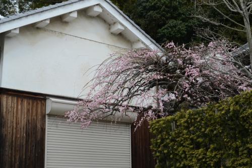 手入れの行き届いた枝垂れ梅が素晴らしい
