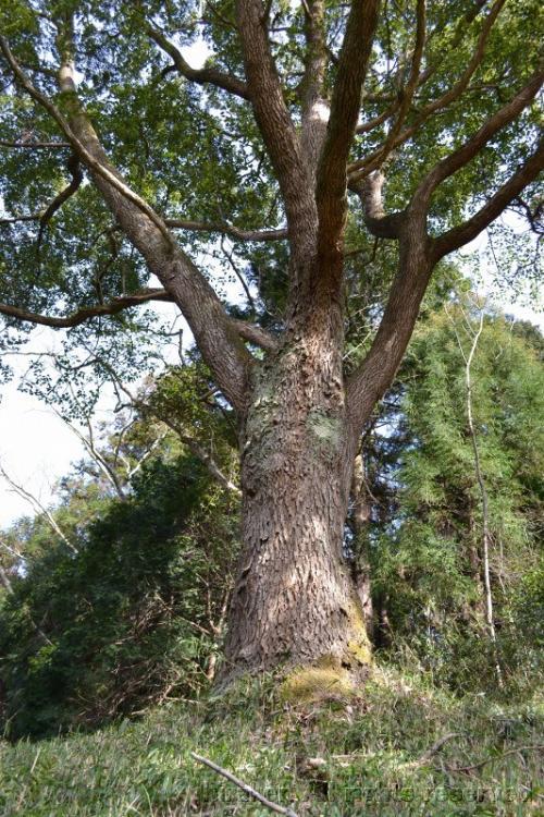 道の脇の大きな木。頭の上に出ている。