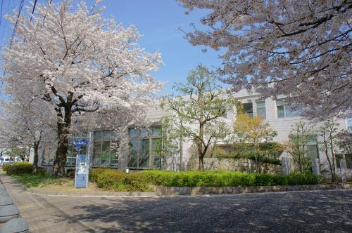 市役所と道を挟んだ西側にある図書館<br /><br />ここの桜は花の密度が濃くて良い