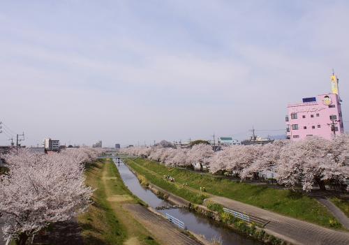 佐奈川堤防の桜並木<br />たぶん1km以上続いている