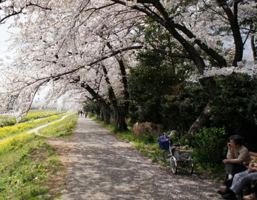 この日は桜満開のピーカン天気<br />ですが風が吹くと桜吹雪で桜絨毯状態<br /><br />明日から散り始めか