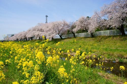 京都の賀茂川沿いの<br />桜と雪柳の共演なみに良いです