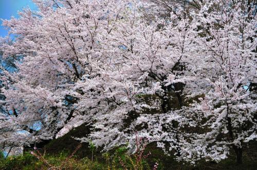 桜はちょうど満開・・