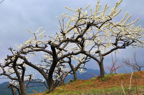 白色の桃が早咲きのようで、目立っています