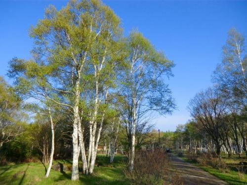 まだ少し時間が早いので、私の好きな「蓼科園地」に行く。ここの白樺林(写真)は美しい。