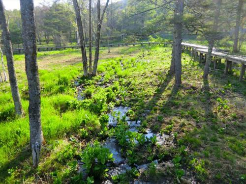 湿地帯の小川の周囲には水芭蕉がいっぱい自生している。<br />