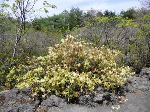 溶岩の間に「ヒカゲツツジ」(写真)の群落が見える。開花は5月上旬〜6月上旬。