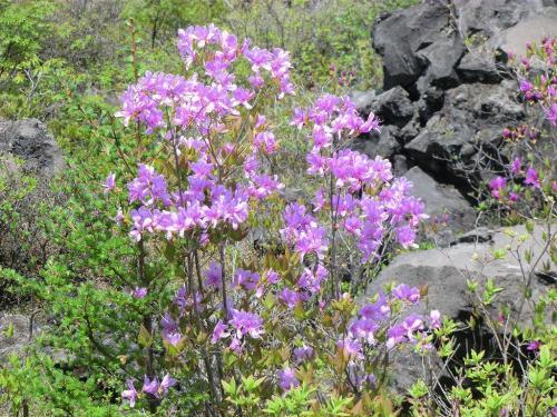 また、「トウゴクミツバツツジ」(写真)の群落もある。開花は5月中旬〜6月上旬。<br />