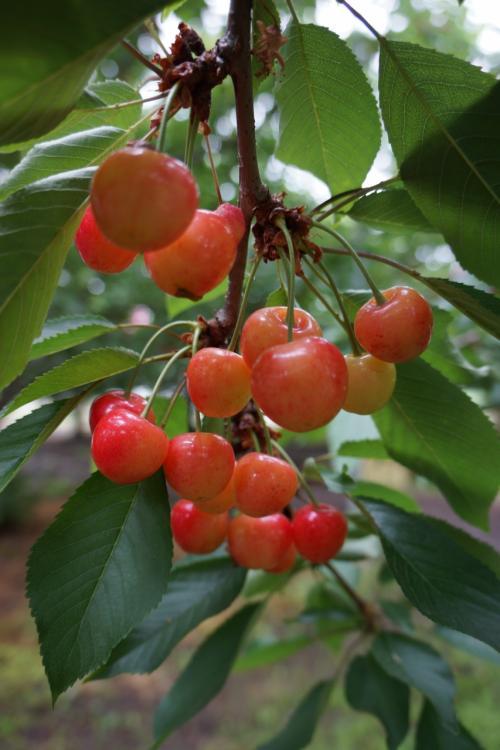 サクランボ、もりもり♪<br /><br />実がプリッとしまっていて歯ごたえもよく、中もジュ〜シ〜で私好みなお味の木を見つけ、後半はその木の実ばかり食べていました。<br /><br />木によって味が全然違うので、自分好みの木を見つけるのも楽しいですね。<br /><br /><br />