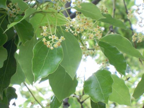 クスノキの透き通るような葉っぱと控えめな花。<br /><br />体中の細胞が生き返るような気がします。