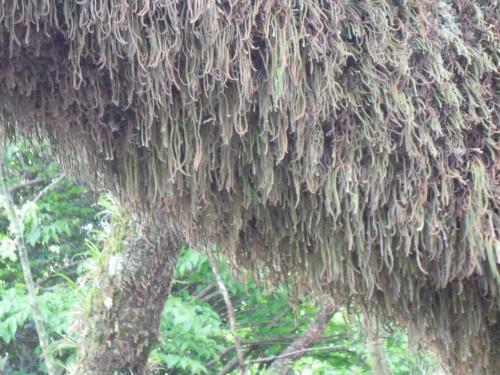 でも、境内のクスノキは古木が多いので、枝にはこのように草が生えています。<br /><br />この草自体も古そう。<br /><br />「なんだか毛深そうな木ね」<br />と言う私に<br />「どうしてあなたはいつもそういう発想をするの!」<br />と呆れる孝謙さん。<br /><br />『源氏物語』の末摘花のように「む・・」としか言わず無言で笑うM子さん。