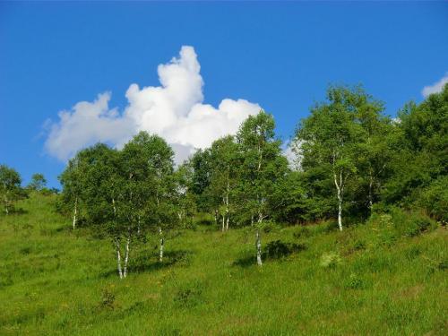 抜けるような青い空に白い雲、そして、白樺(写真)。高原の夏・夏・夏…。<br />