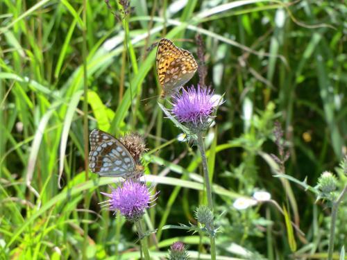 足下ではアザミ(写真)に蝶が舞う。